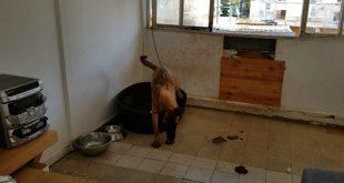 אחד הכלבים שהוחזקו בדירה (צילום: דוברות המשטרה)