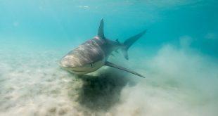 כריש בחוף חדרה. צילום: חגי נתיב, תחנת מוריס קאהן לחקר הים של אוניברסיטת חיפה
