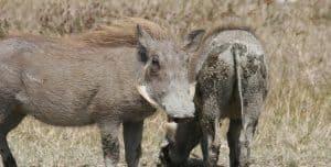 חזירי בר, התמונה להמחשה. צילום: pixabay.com