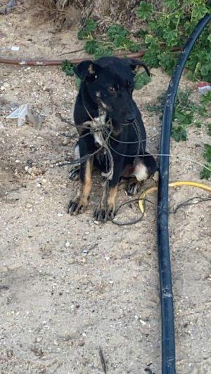 הכלב שעבר התעללות (צילום: משטרת ישראל)