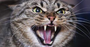 שפת החתולים. מה הוא אומר? צילום: shutterstock