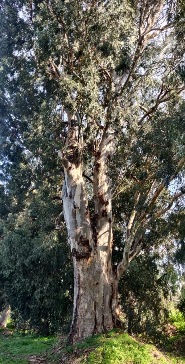 עץ אקליפטוס ותיק בכביש עכו-בוסתן | צילום: דוברות מטה אשר