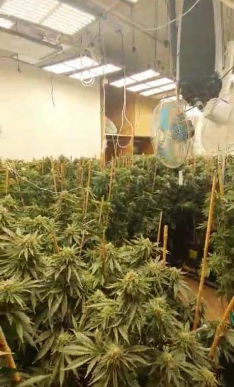 השתילים שנתפסו במעבדת סמים בקרית ביאליק | צילום: דוברות המשטרה